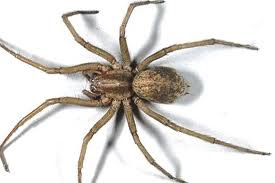 hobo spider removal